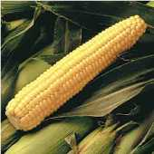Early Sunglow Corn CN13-50_Base
