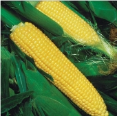 Jubilee Corn CN26-50_Base