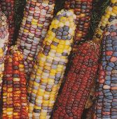Indian Ornamental Corn (Large Kernels) CN41-50_Base