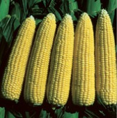 Merit Corn CN19-50_Base