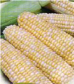 Peaches and Cream Corn CN11-50_Base