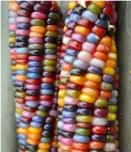 Rainbow Ornamental Corn CN34-50_Base