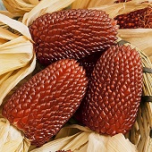 Red Strawberry Corn CN3-50_Base