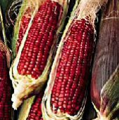Ruby Queen Corn CN36-50