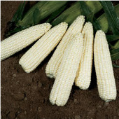 Sweet Ice Corn CN7-50_Base