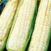 Trucker's Favorite Corn (White) CN44-50_Base