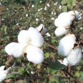 Buranda White Cotton CO6-20_Base