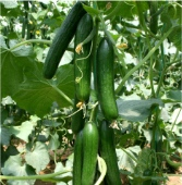 Beit Alpha Cucumbers CU76-20_Base