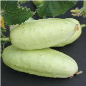 Boothby's Blonde Cucumbers CU83-20_Base
