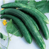 Burpless 26 Cucumbers CU121-20_Base