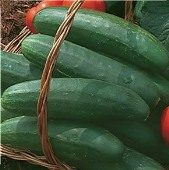 Bush Crop Cucumbers CU20-20