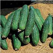 Bush Pickle Cucumbers CU5-20_Base