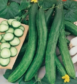 Cetriolo Chinese Slangen Cucumbers CU66-20_Base