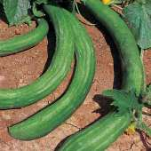 Chinese Snake Cucumbers (Curved) CU85-20_Base
