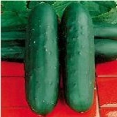 Dasher II Cucumbers CU102-20_Base