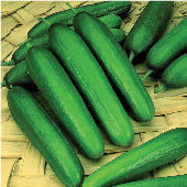 Early Green Cluster Cucumbers CU45-20_Base