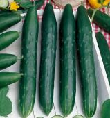 Early Spring Burpless Cucumbers CU93-20_Base