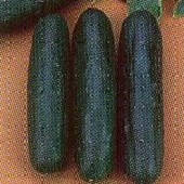 Early Triumph Cucumbers CU90-20_Base