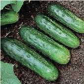 Little Leaf Cucumbers CU41-20_Base