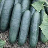 Marketer Cucumbers CU12-20_Base