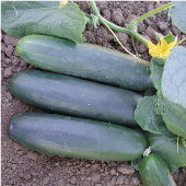 Marketmore 97 Cucumbers CU113-20_Base