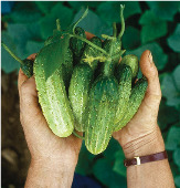 Northern Pickling Cucumbers CU42-20_Base