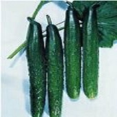 Tasty Green Cucumbers CU3-20