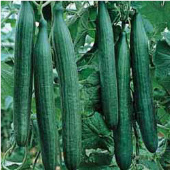 Telegraph Improved Cucumbers CU115-20_Base