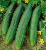 Tendergreen Cucumbers CU38-20_Base