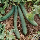 Tortarello Verde Scuro Cucumbers CU65-20_Base