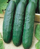 Turbo Cucumbers CU92-20_Base