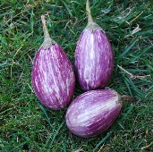 Antigua Eggplants EG27-20_Base