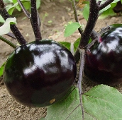 Black Round Eggplants EG76-20_Base