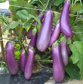 Charming Eggplants EG71-20_Base