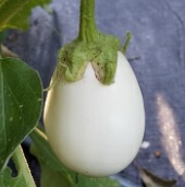 Cloud Nine Eggplants EG16-20_Base