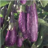 Fairy Tale Eggplants EG37-10_Base