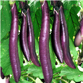 Fengyuan Purple Eggplants EG49-20_Base