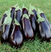 Florida High Bush Eggplants EG50-20_Base
