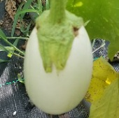 Ghostbuster Eggplants EG8-20_Base