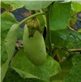 Green Goddess Eggplants EG51-20_Base