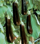Megal Eggplants EG13-20_Base