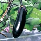 Money Maker II Eggplants EG56-20_Base