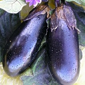 Purple Panther Eggplants EG64-20_Base