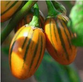 Striped Toga Eggplants EG70-20_Base