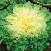 Batavian Full Hearted Endive ED1-100_Base