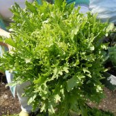Salad King Endive ED4-100_Base