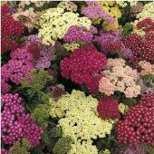 Achillea Flowers (Summer Pastels) FL48-100_Base