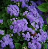 Ageratum Flowers (Blue Mink) FL96-100_Base