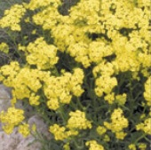 Alyssum Flowers (Gold Dust) FL49-100_Base