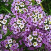 Alyssum Flowers (Royal Carpet) FL29-100_Base